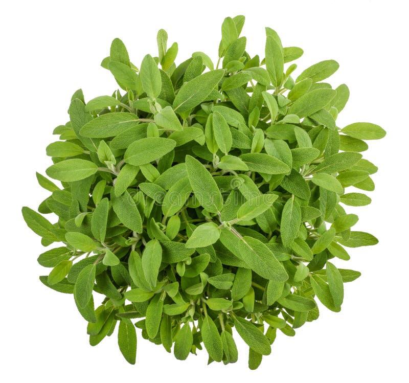 Sage salvia officinalis stock photography