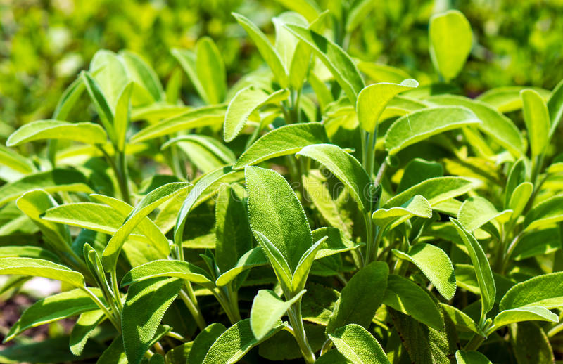 Sage (Salvia) Salbei royalty free stock photo