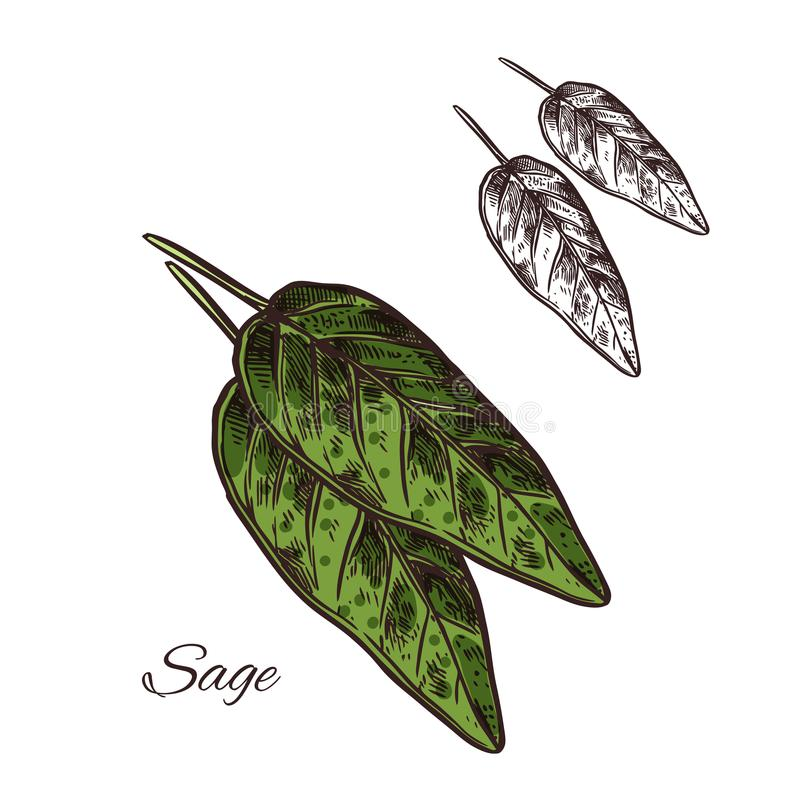 Sage seasoning plant vector sketch plant icon. Sage seasoning spice herb sketch icon. Vector isolated sage herb plant for culinary cuisine cooking or flavoring royalty free illustration