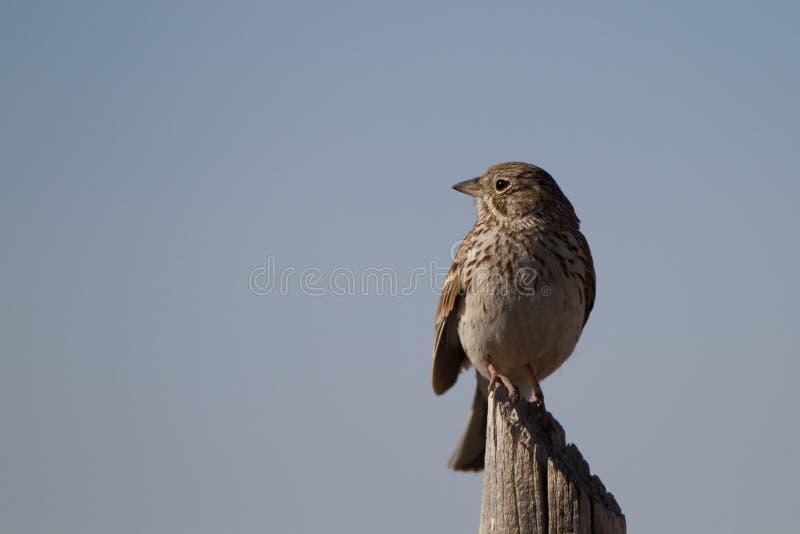 Download Sage Sparrow, Belli Di Amphispiza Immagine Stock - Immagine di luis, sparrow: 30826871