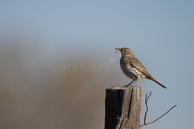 Download Sage Thrasher, Montanus Di Oreoscoptes Immagine Stock - Immagine di north, acqua: 30826879