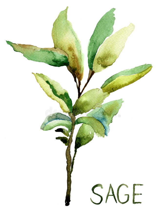 Free Sage, Watercolor Illustration Royalty Free Stock Photos - 29047178
