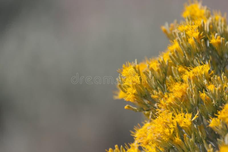 SageBrush in der Blüte lizenzfreie stockfotos