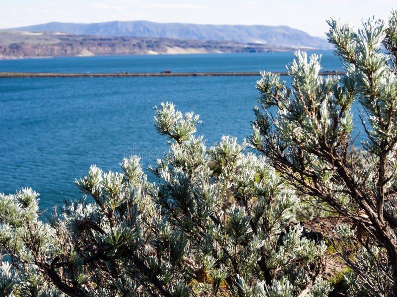 Sagebrush plant growing in Washington state, USA. Sagebrush plant growing in Columbia River Valley, Washington state, USA stock image