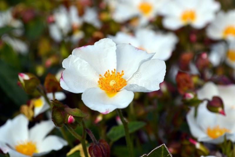 Sageleaf rock rose blooming in the light sunny day in the garden, Cistus salviifolius evergreen plant stock image