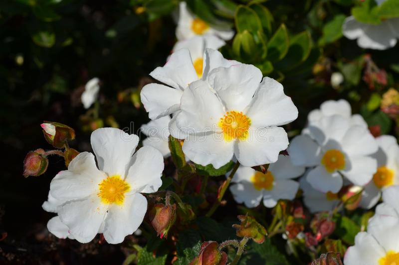 Sageleaf rock rose blooming in the light sunny day in the garden, sage-leaved rock rose stock photos