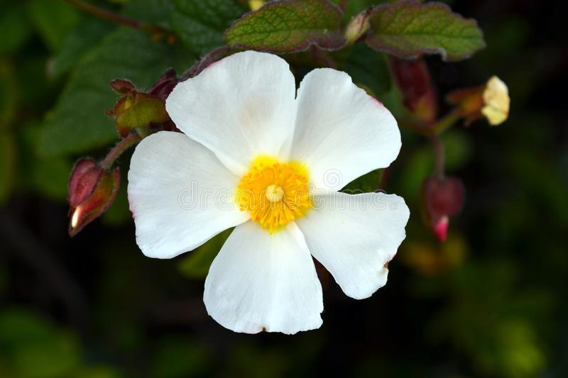 Sageleaf rock rose blooming in the light sunny day in the garden, sage-leaved rock rose stock image