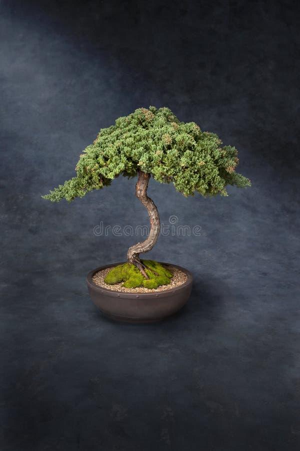 Saggezza di conoscenza dell'albero dei bonsai fotografia stock libera da diritti