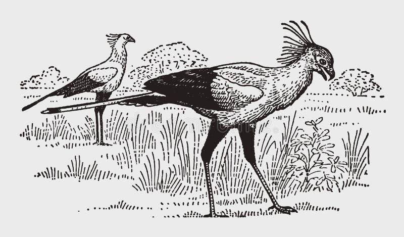 Sagittarius serpentarius mit zwei afrikanisches Sekretärvögeln, das auf eine offene Wiese geht vektor abbildung