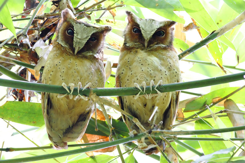 Sagittatus de peito branco de Scops Owl Otus imagens de stock