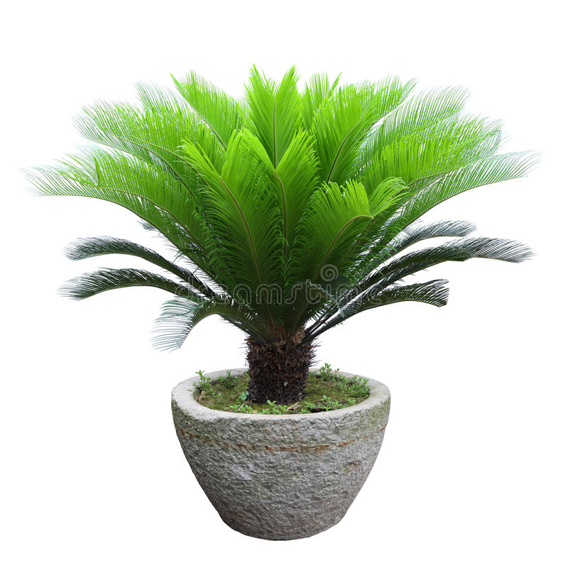 Free Sago Cycad Tree Stock Photo - 25044730