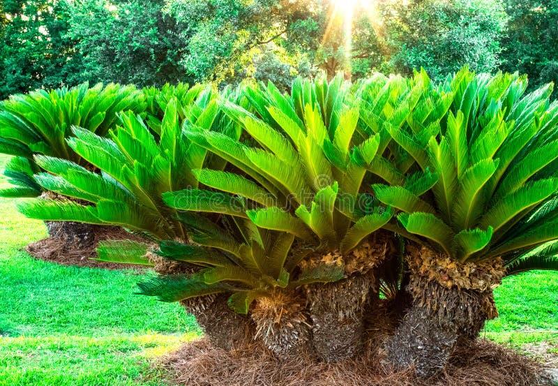 Sago drzewek palmowych grona grupy słońca połysku tło obrazy stock