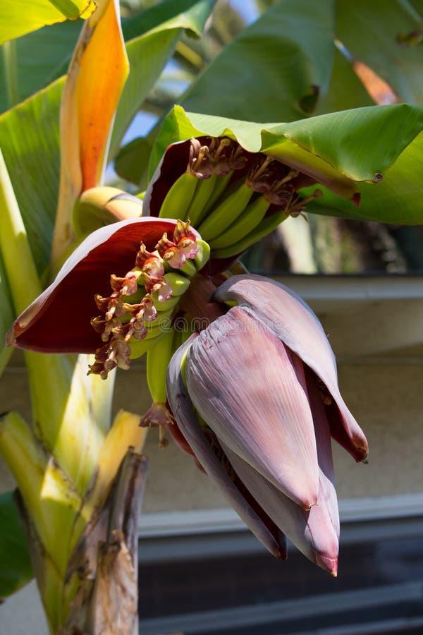 Sagolik komplexitet av den dekorativa blomman för bananväxt arkivfoto