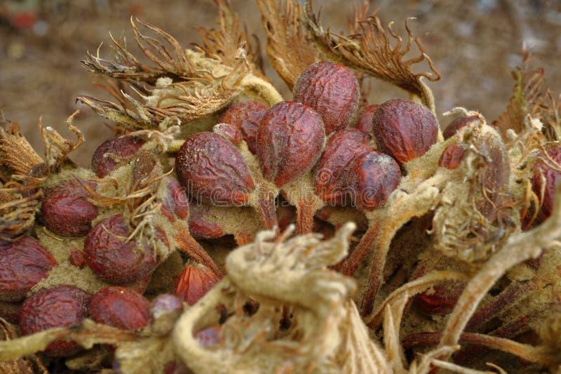 Sagot gömma i handflatan växtfrö arkivbilder