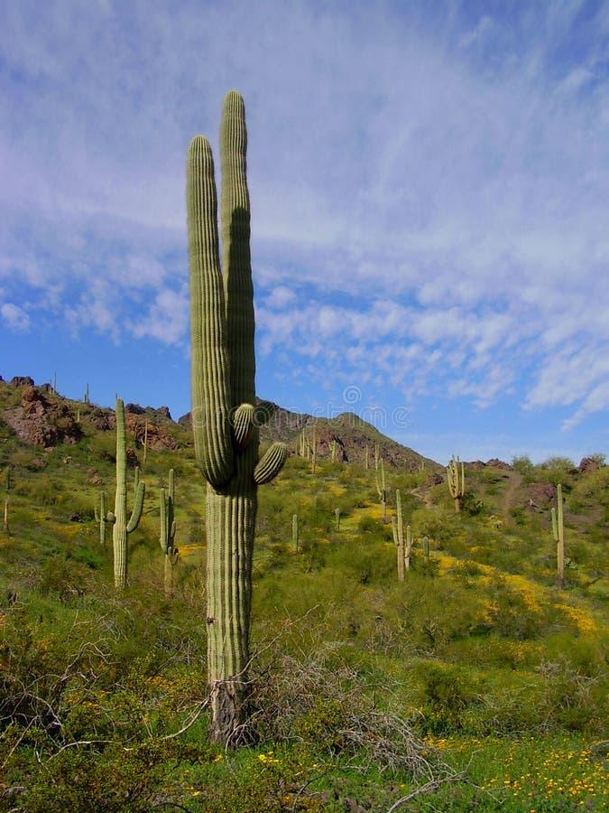 Saguaro à la crête de Picacho image libre de droits