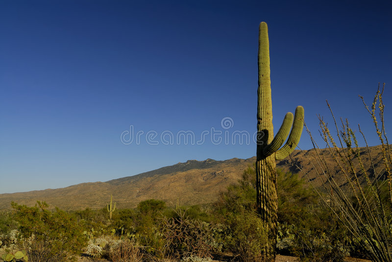 saguaro κάκτων στοκ φωτογραφία με δικαίωμα ελεύθερης χρήσης