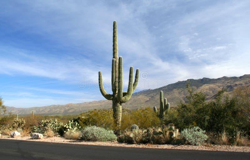 saguaro дороги пустыни кактуса Аризоны стоковое изображение