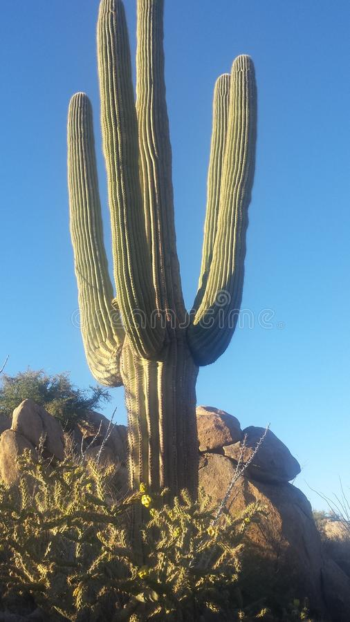 saguaro stockbilder