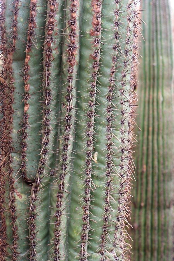 Saguaro imagen de archivo libre de regalías