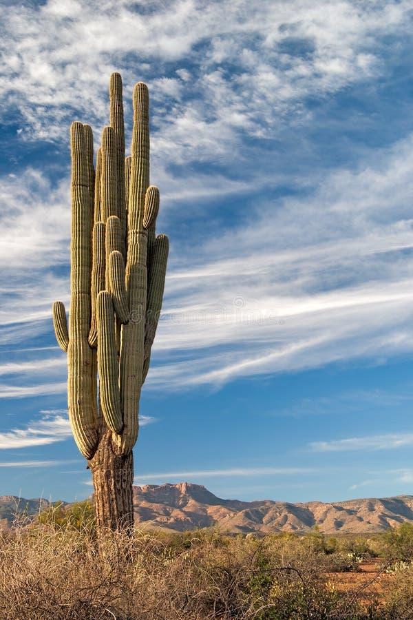 Download Saguaro stock image. Image of desert, mazatzal, southwest - 22407027