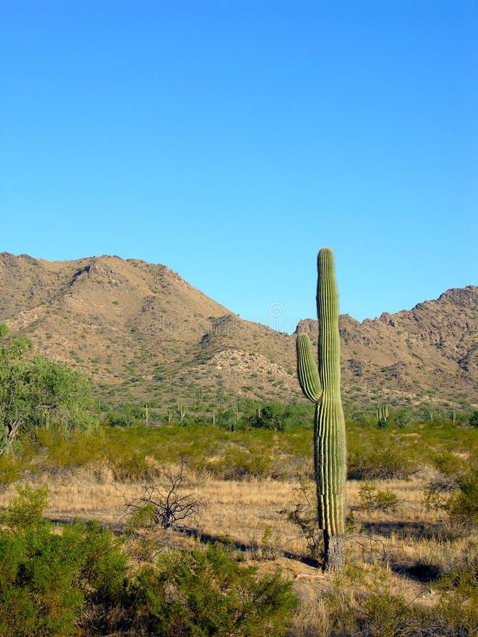saguaro 4 стоковое фото rf