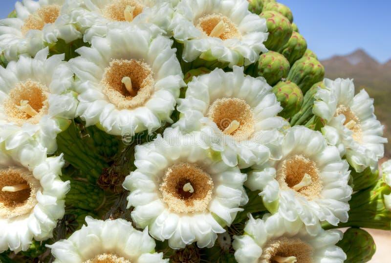 saguaro στοκ φωτογραφία