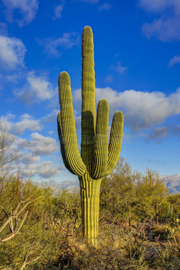 saguaro στοκ φωτογραφία με δικαίωμα ελεύθερης χρήσης