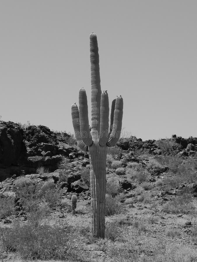 saguaro στοκ εικόνα