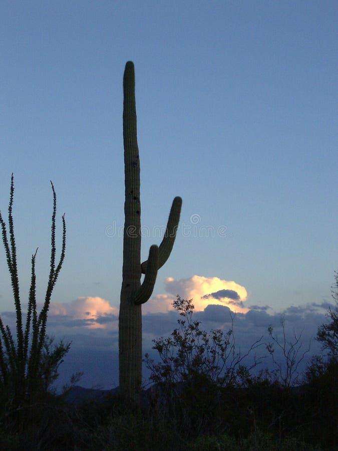 Saguaro avec le coucher du soleil photos libres de droits