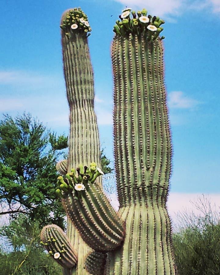 Saguaro in Bloei royalty-vrije stock foto
