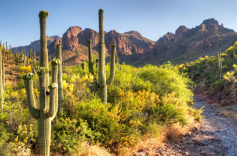 Saguaro. Blooming Sonoran Desert at Superstition Mountains stock image