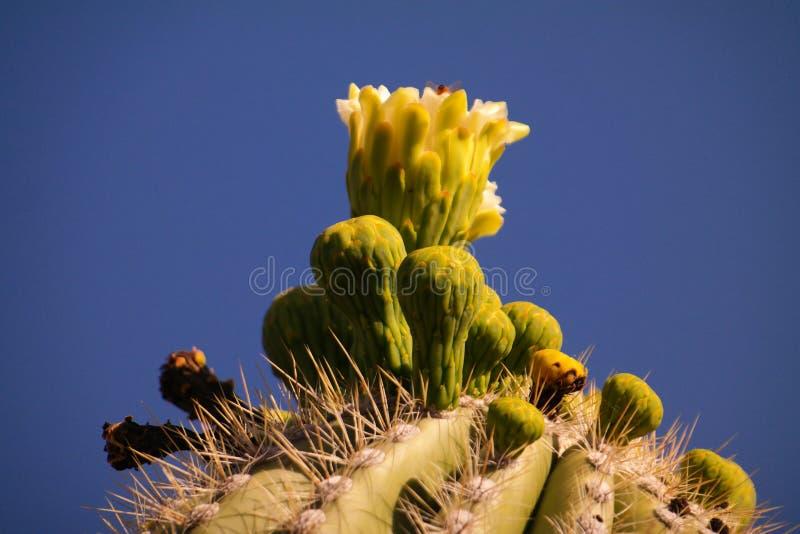 Saguaro Blossom. Small white blossoms in the Arizona desert near Globe royalty free stock images