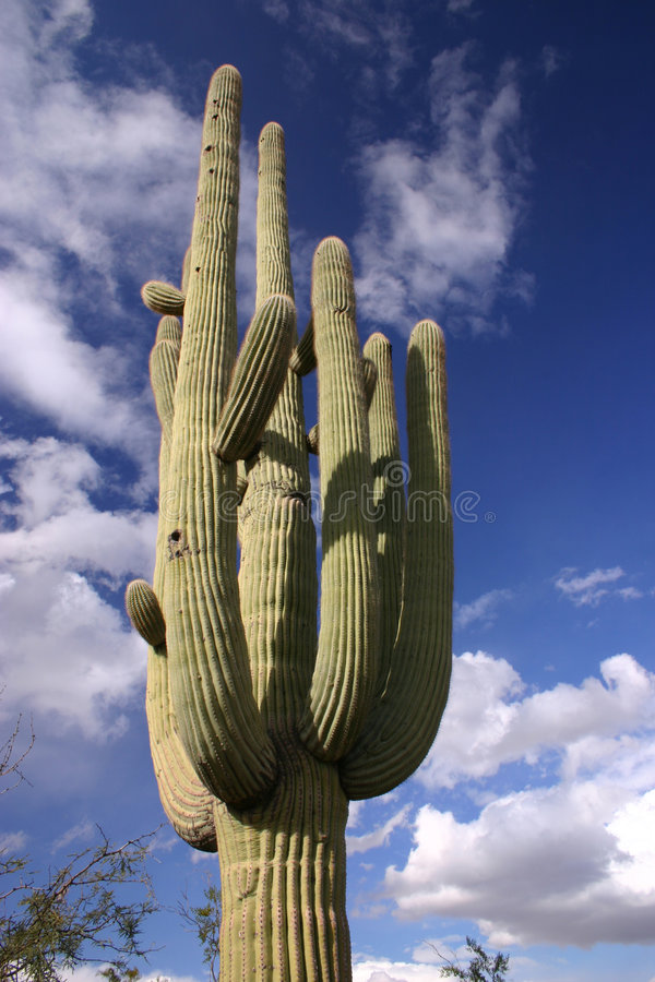 Download Saguaro and Blue Sky stock photo. Image of desert, nature - 1700216