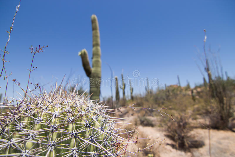 Saguaro caído fotos de stock royalty free
