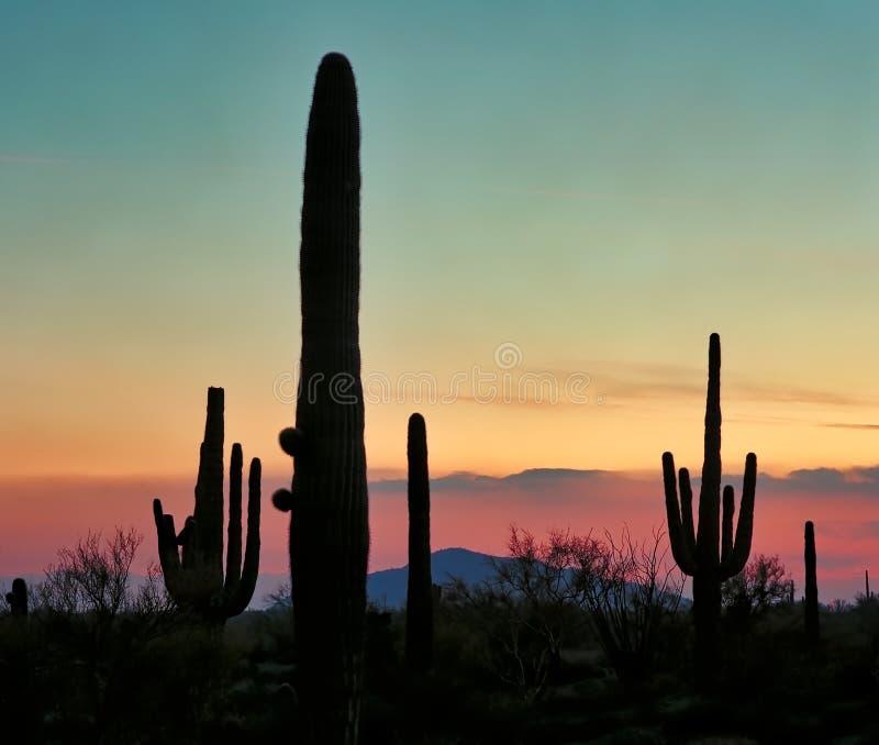 Saguaro Cacti silhouettato al tramonto nel sud-ovest immagine stock libera da diritti