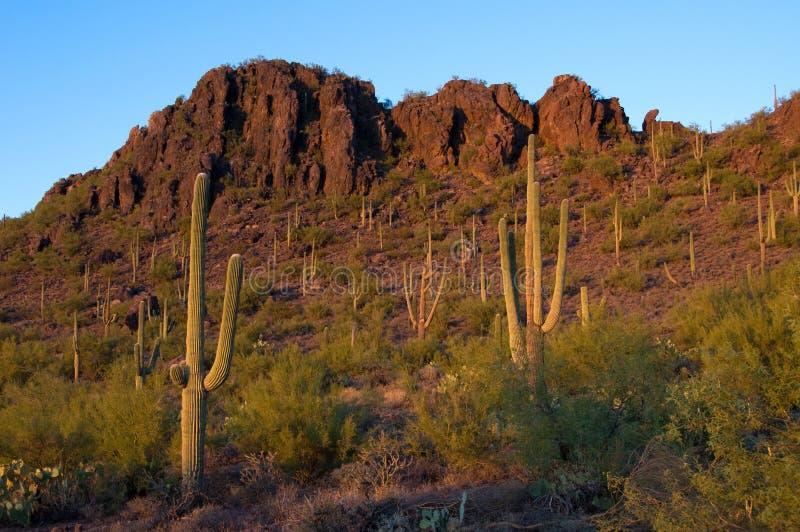 Saguaro cacti at sunset royalty free stock photos