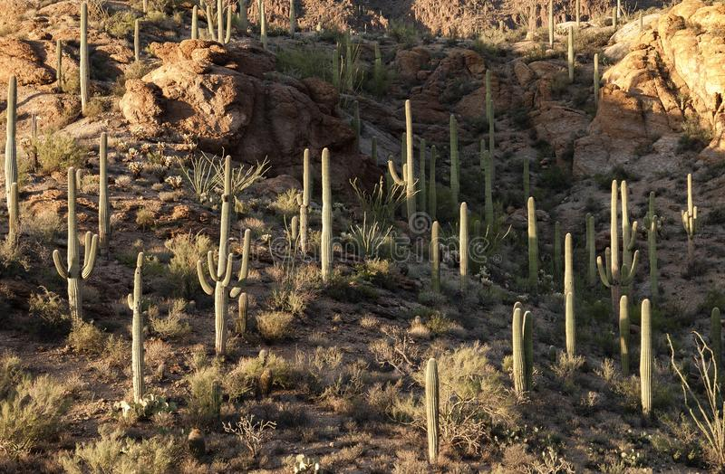 Saguaro Cacti in Tucson. One of the largest cactus species in the world for the mountainsides of the Sonoran desert landscape near Tucson, Arizona royalty free stock images