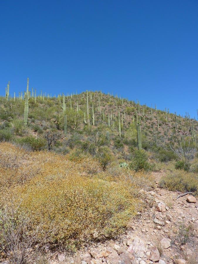 Saguaro Cactus Stock Photo