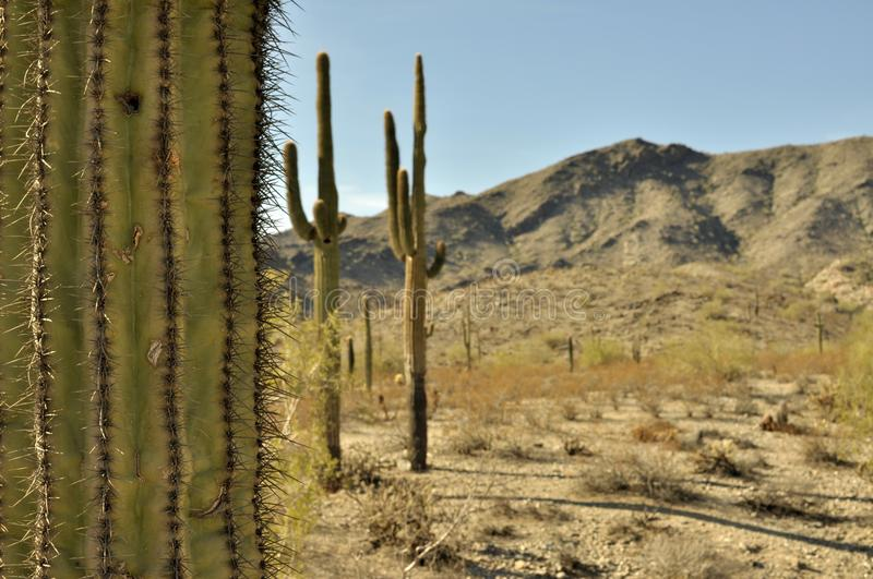 Saguaro Cactus against desert landscape. View of a Saguaro Cactus up front with other cactus and a mountain range in the background royalty free stock image