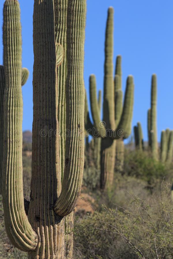 Saguaro Cactus in the Arizona Desert. Along the Apache Trail in the Tonto National Forest outside of Phoenix royalty free stock photography