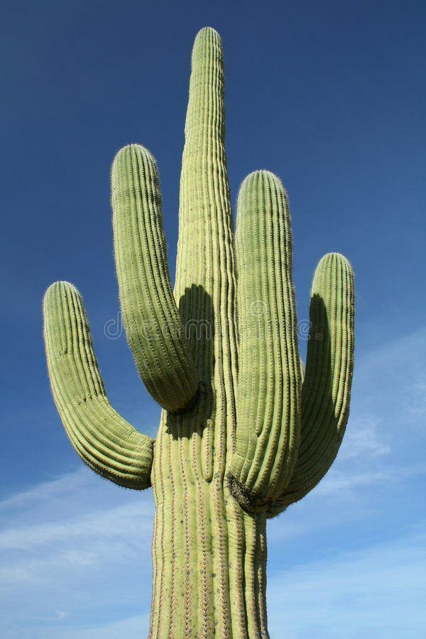 Free Saguaro Cactus At Arizona Desert Royalty Free Stock Photo - 4073675