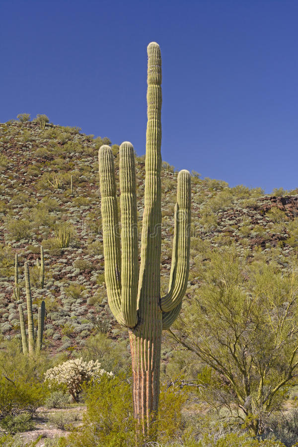 Saguaro Cactus in the Desert Mountains. Of Organ Pipe National Monument in the Sonoran Desert of Arizona stock photo