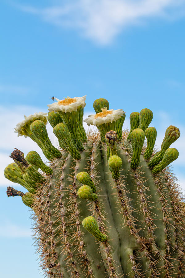 Download Saguaro Cactus Flowering Stock Photo - Image: 41071402
