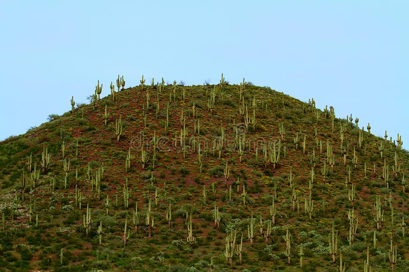 Saguaro cactus on green flowering hillside. These are saguaro cactus covering a green hillside that is starting to flower.  The cacti are commonly found in royalty free stock image