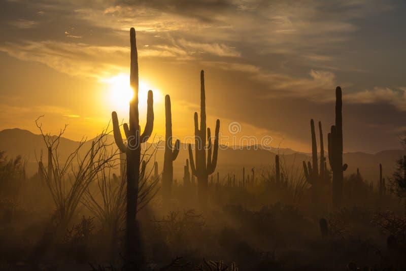 Saguaro Cactus silhouettes against golden sunset skies, Tucson, AZ. The sun sets behind silhouettes of Saguaro Cacti in Saguaro National Park, Arizona. Dust in royalty free stock photos