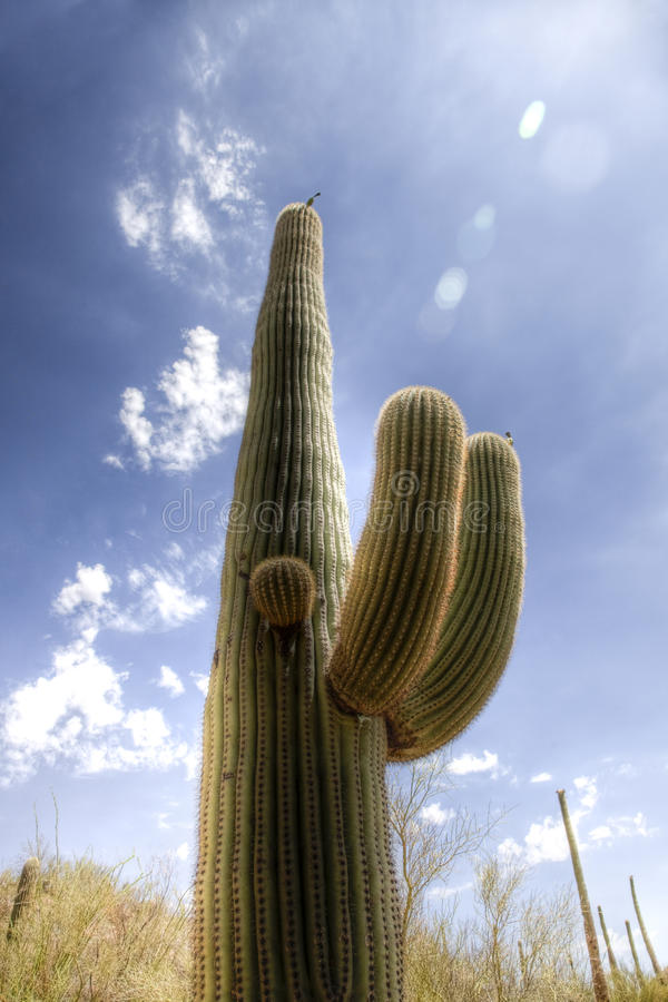 Download Saguaro Cactus In The Sonoran Desert Stock Image - Image: 11156883