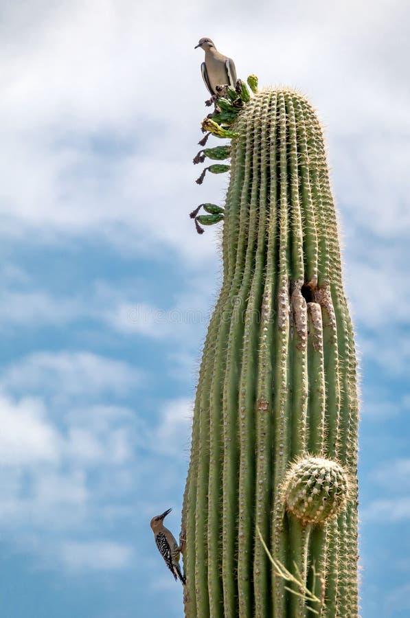 Saguaro Cactus with Birds n the Sonoran Desert royalty free stock image