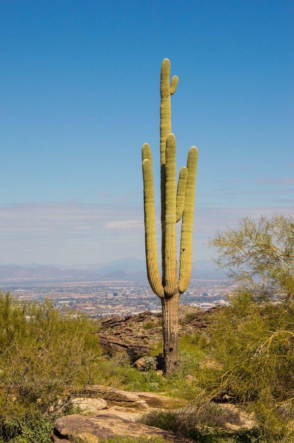 Saguaro Cactus in South Mountain Park Preserve stock image