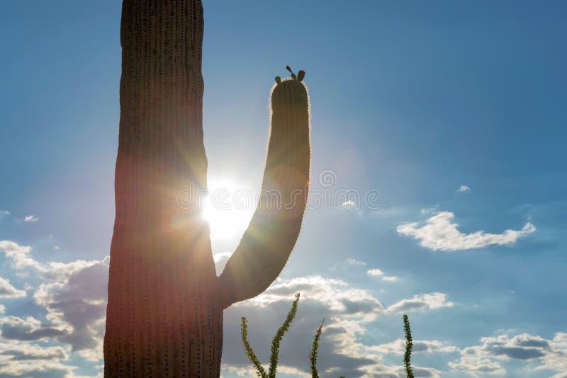 Saguaro cactus at Sunset. Saguaros at Sunset in Sonoran Desert near Phoenix royalty free stock photos
