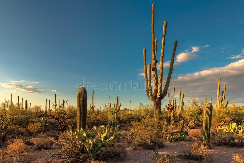 Saguaro Cactus at Sunset in Sonoran Desert. Saguaros at Sunset in Sonoran Desert near Phoenix, Arizona royalty free stock photo